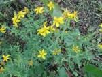 so gedeihen Deine Johanniskraut-Samen in Deinem Garten
