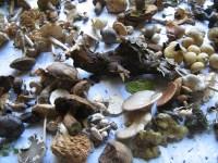 Waldpilze selber verwerten Auslage von Herbstpilzen
