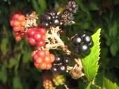 Märchen Dornröschen wilde rote schwarze u getrocknete Brombeeren