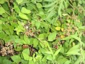 Märchen Dornröschen wilde Brombeeren in der gruenen Wildnis