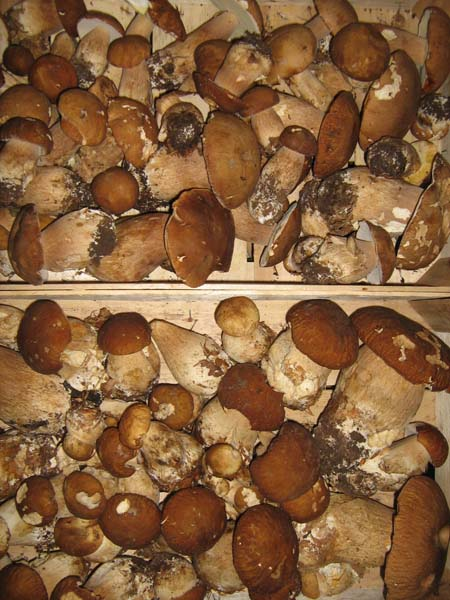 pilze ohne pilze kein leben tipp 39 s waldpilze richtig sammeln pilz blog. Black Bedroom Furniture Sets. Home Design Ideas