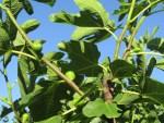 Feiegbaum in unserem grossen Permakultur-Garten