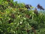 Insektenstich Salbe beinhaltet Holunder-Blaetter aus Permakultur