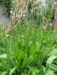 Elixier aus Spitzwegerich mit Kraut aus unserem Permakultur-Garten