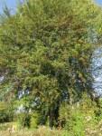 der grosse Weissdornbaum liefert viele Beeren fuers Weissdorn Elixier
