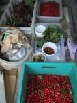 Rosi u Pierre sammeln Kornelkirschen,Holunder uvm in der Umgebung