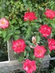 Rosenblueten sind im Duschhandschuh für trockene sensible Haut