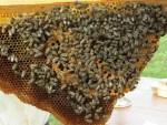Brennessel Samen im Honig aus eigener Permakultur