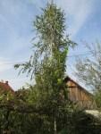 unsere grosse Birke vor dem Wohnhaus