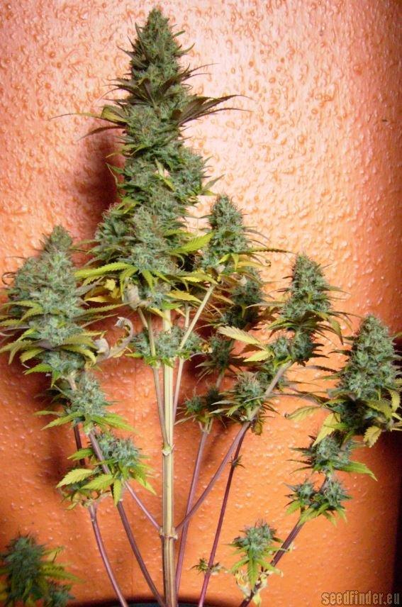 Pineapple Express Auto Von G13 Labs Cannabis Sorten Infos