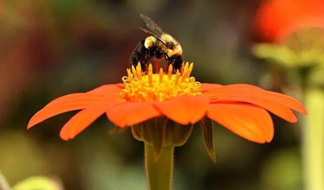 een oranje bloem met een bij.