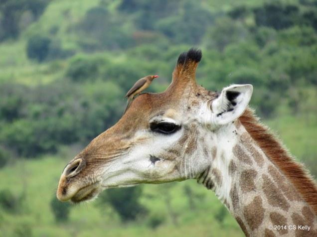 giraffe_bird