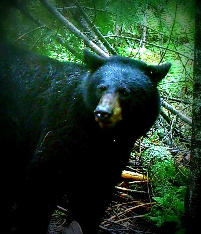 Canadian Black Bear Hunting
