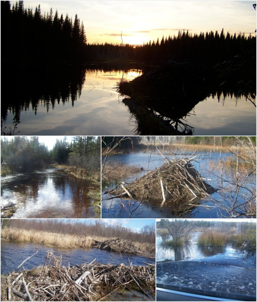 Beavers dam the roads making it a challenge for Mike