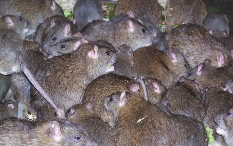 rats के लिए चित्र परिणाम