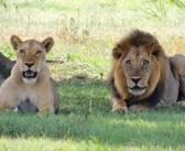 VIDEO: El juego asesino de dos leones con una presa indefensa