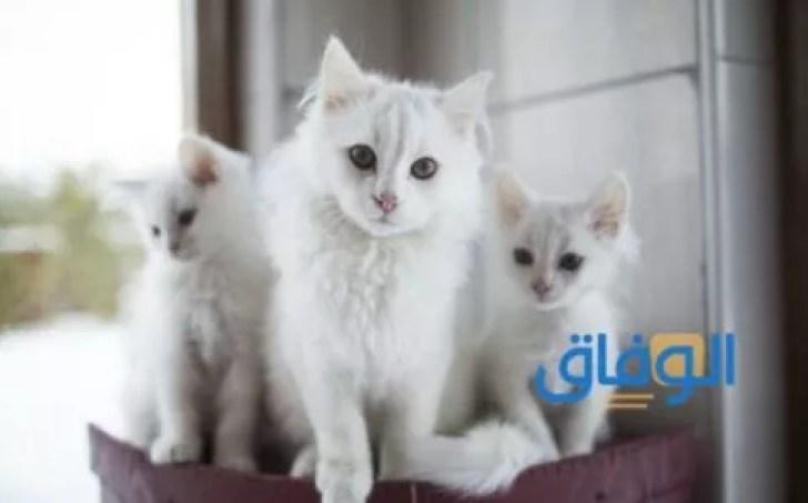 تفسير رؤية القطط في المنام للفتاة العزباء