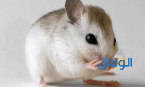 دلالة رؤية الفأر في الحلم لابن سيرين