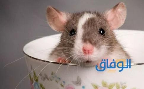 رؤية الفأر في المنام للمرأة المطلقة