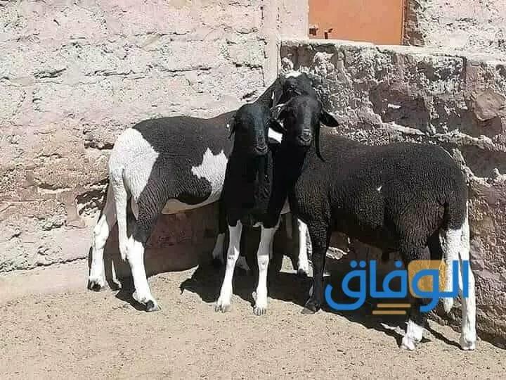 سلالة الدمان الجزائرية