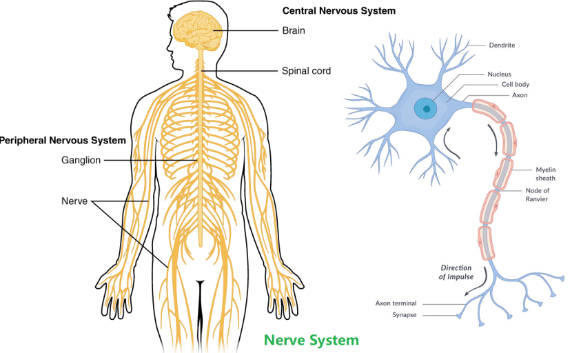 nerve System