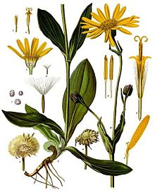 arnica_montana_-_kohler-s_medizinal-pflanzen-015