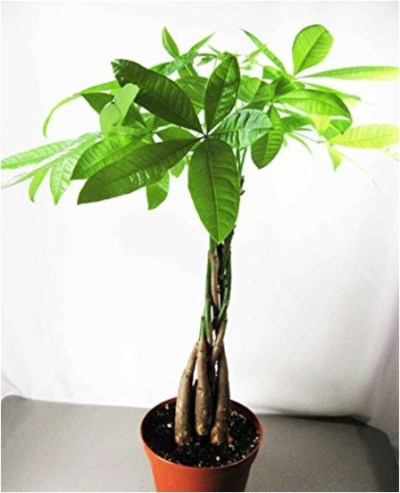 WALMART: 9GreenBox - Rare Mini Pachira Five Braided Tree Bring Luck Pachira Houseplant Bonsai