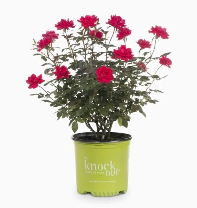 LOWE'S: Knock Out 1-Gallon in Pot Red Knock Out Rose, 50% off