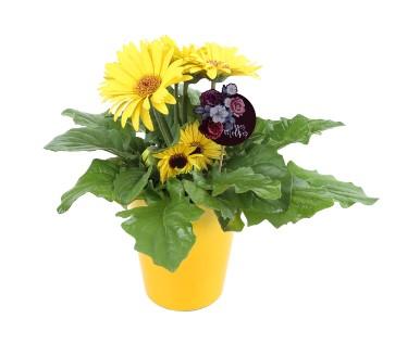 WALMART: Delray Plants Live Gerbera Plant, Yellow Flowers $20.97 ($27.99)
