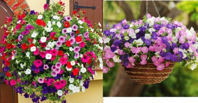 Amazon: 1000Pcs Petunia Flower Seeds Bonsai Plants $6.59 ($22) Shipped!