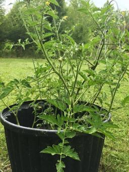 Voluntary Tomato Plant