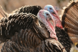 A full-grown turkey has 3,500 feathers. Why someone would bother to count is beyond me. DearKidLoveMom.com