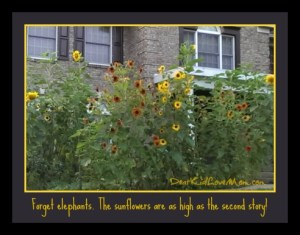 The sunflowers are as high as the second story --and the birds love it. DearKidLoveMom.com