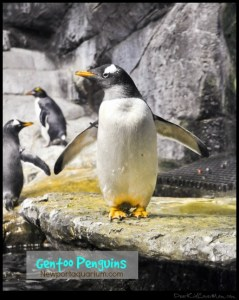 Gentoo Penguins. They swim faster than you. DearKidLoveMom.com
