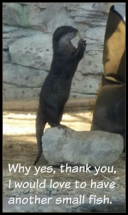 Why yes, thank you. I'd love another small fish. Asian Small Clawed Otter at Newport Aquarium. DearKidLoveMom.com