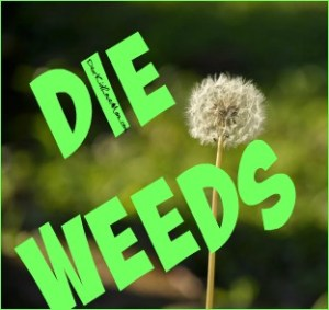 Daddy and I have very different attitudes toward weeds. Mine is sort of a DIE SUCKER! mentality. I'm ok with losing a few blades of grass if it means the weeds are gone. I'm ok with flame throwers or other radical treatments. DearKidLoveMom.com