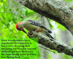 Most woodpeckers have zygodactyl feet which is a fancy way of saying that shopping for shoes is beyond difficult because they have two toes facing front and two toes facing back. DearKidLoveMom.com