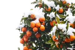 tangerines_in_the_snow_15622807144