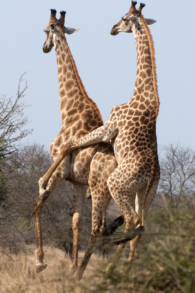 gay animals giraffe