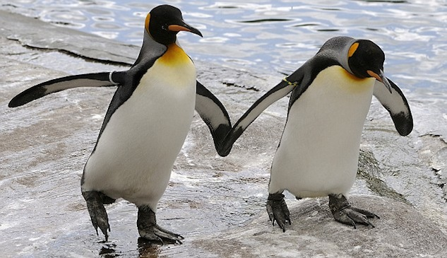 Gay animals penguins