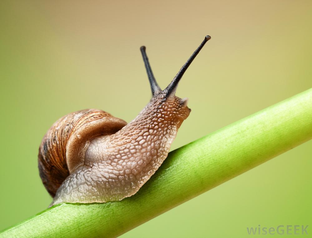 hermaphodite snail