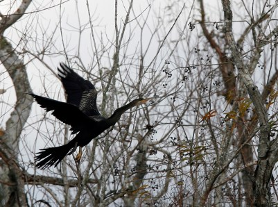 Anhinga flying to a perch