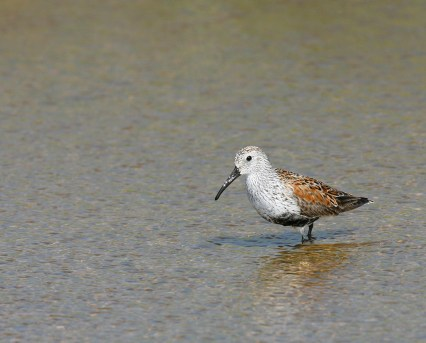 Dunlin walks a pond at Sea Rim State Park