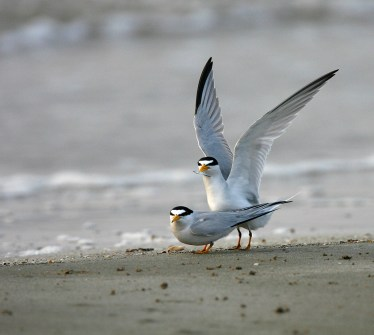 Least Tern with a fish offering