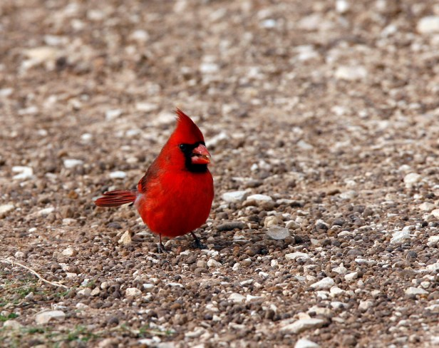 Northern Cardinals frequently forage on the ground.
