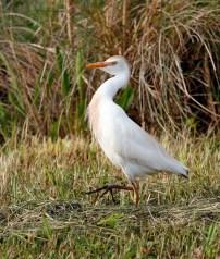 Cattle Egret executing an odd gait