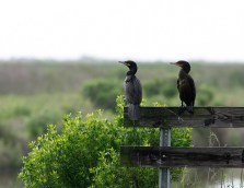 A pair of Neotropic Cormorants at Anahuac