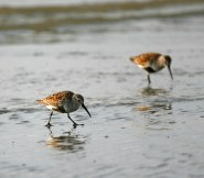 Dunlins forage in the muddy sand at Bolivar Flats