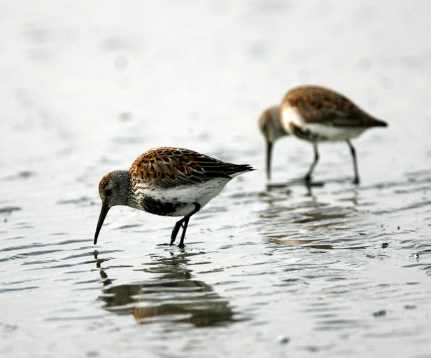 Pair of Dunlins on a Galveston beach