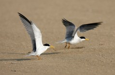 Least Terns make a touch-and-go landing on the beach at the Bolivar Sanctuary